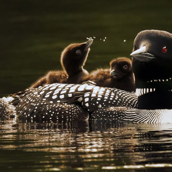 The Loons of Golden Pond